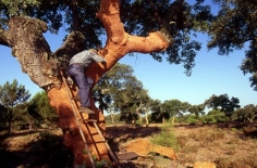 Harvesting Rubber Bark from Cork Trees