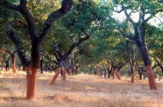 Harvesting Rubber Bark from Cork Trees